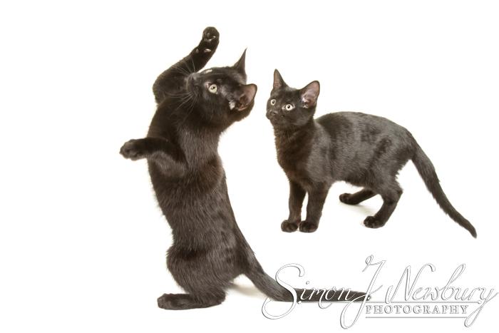 Pet Photographer in Cheshire. Cheshire pet photographer. Cats & kittens photographer in Cheshire. Crewe pet photography. Cheshire professional pet photography